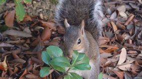 Écureuil dans des feuilles Photos libres de droits