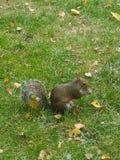 Écureuil dans Hyde Park images libres de droits