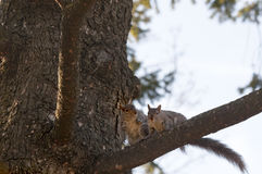 Écureuil dans l'amour Photos stock