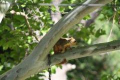 Écureuil dans l'arbre Photo stock