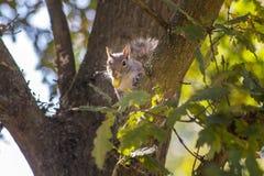 Écureuil dans l'arbre avec l'écrou images stock