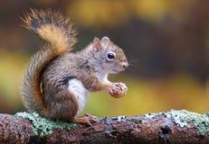 Écureuil dans l'automne Photo libre de droits