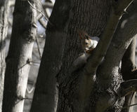 Écureuil dans l'habitat naturel L'écureuil grimpe rapidement à des arbres, trouve la nourriture et la mange Journée de printemps  Photo libre de droits