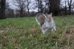Écureuil dans l'herbe Photos stock