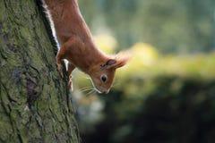 Écureuil dans la forêt Photographie stock libre de droits