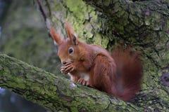 Écureuil dans la forêt Images libres de droits