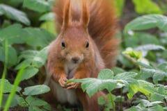 Écureuil dans la forêt Photos stock