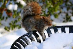 Écureuil dans la neige Photographie stock libre de droits