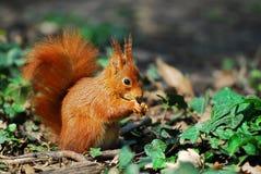 Écureuil dans le lierre Photo libre de droits
