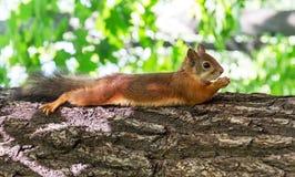 Écureuil dans le plan rapproché de forêt Photos stock