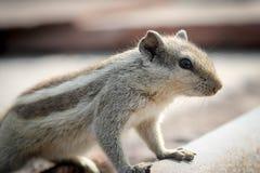 Écureuil dans le temple indien Photos libres de droits