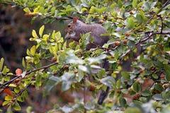 Écureuil dans un arbre de jardin Images libres de droits