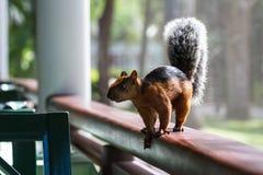 Écureuil dans un restaurant photographie stock libre de droits