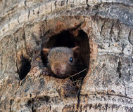 Écureuil dans un trou Image libre de droits