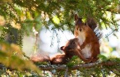 Écureuil de allaitement Image stock