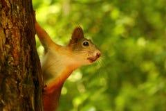 Écureuil de bébé Images stock