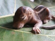 Écureuil de bébé dormant sur un congé image libre de droits