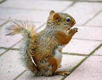 Écureuil de Brown Photos libres de droits