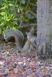 Écureuil de Brown Images libres de droits