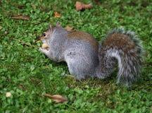 Écureuil de Brown d'écossais Images stock