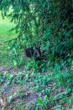 Écureuil de Brown regardant directement dans le schoene bally de parc d'appareil-photo Images libres de droits