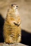 Écureuil de Brown restant sur deux pieds sur une roche Photographie stock