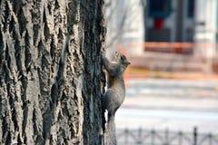 Écureuil de Cincinnati Images stock