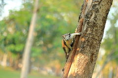 Écureuil de Finlayson Photos libres de droits