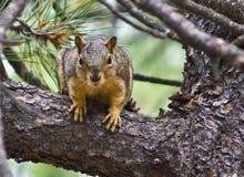 Écureuil de Fox Images stock