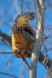 Écureuil de Fox Photos libres de droits