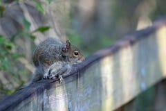 Écureuil de Fox Photo libre de droits
