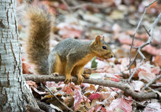Écureuil de Fox Photographie stock libre de droits
