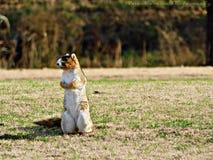 Écureuil de Fox Images libres de droits