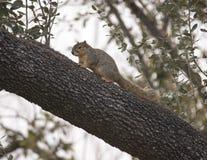 Écureuil de Fox dans un arbre à Dallas, le Texas image libre de droits