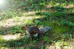 Écureuil de Fox dans une cour suburbaine avec un regard drôle et confus photos stock