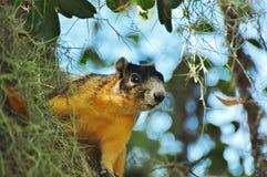 Écureuil de Fox de Sherman 1 Image libre de droits
