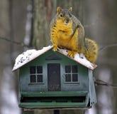 Écureuil de Fox drôle Photo stock