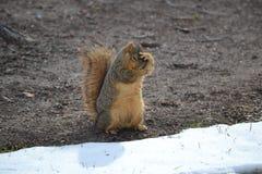 Écureuil de Fox effrayé Photographie stock libre de droits