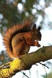 Écureuil de Fox mangeant des écrous sur la branche, plan rapproché image stock