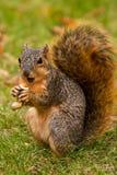 Écureuil de Fox mangeant une arachide Photos stock