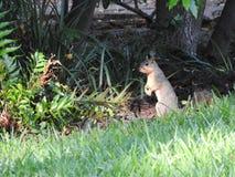 Écureuil de Fox (Sciurus Niger) Photographie stock libre de droits
