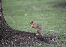 Écureuil de Fox se reposant sur la racine d'arbre, mangeant un écrou dans l'herbe, Dallas, le Texas Image libre de droits