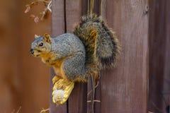 Écureuil de Fox se tenant sur l'épi de maïs avec le kernal du maïs dans son MOU Photos libres de droits
