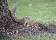 Écureuil de Fox sur la racine d'arbre, mangeant un écrou, Dallas, le Texas Photo libre de droits