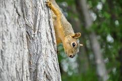 Écureuil de Fox sur le tronc d'arbre s'élevant vers le bas images libres de droits