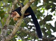 Écureuil de géant de Malabar Photos libres de droits