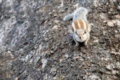 Écureuil de Gary s'accrochant à un arbre images stock
