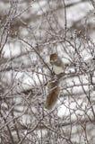 écureuil de glace de branchement photo stock