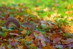05/11/2017 écureuil de gris de Cuty image libre de droits