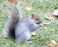 Écureuil de gris oriental photographie stock libre de droits
